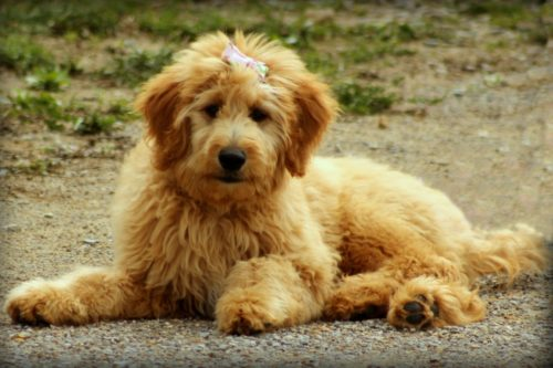 Cute Golden Doodle Dog Puppy -1326688